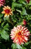 Variété de dahlia fou de jambes de chrysanthème, un plan rapproché de fleur photo libre de droits