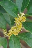 Variété de fragrans d'Osmanthus latifolius Photos stock