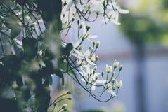 Variété de ligusticifolia de clématite de vitalba de lematis de ¡ de Ð image stock