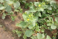 Variété de melo de Cucumis flexuosus, concombre arménien Image stock