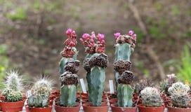 Variété de succulents et de catcus en fleur Photos stock