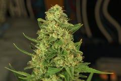 Variété de toundra de Matanuska de marijuana médicale Photo libre de droits