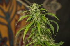Variété mazar automatique bleue de marijuana médicale Images libres de droits