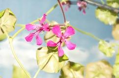 Variétés à la maison de pelargoniumgeranium Russie image libre de droits