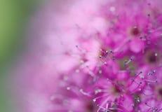 Variétés de Japonais de Bullata de Spiraea de tache floue de fond macro Photographie stock libre de droits