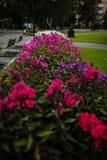 Variétés de paniculata de phlox en parc Photo stock