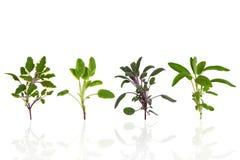 Variétés sages de lame d'herbe Image libre de droits