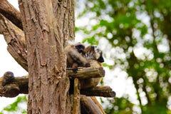 Vari сидя на ветви в зоопарке в Баварии в Аугсбурге стоковое фото