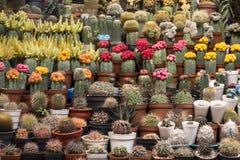 Vari cactus di fioritura variopinti nei vasi sul mercato della pianta nel Perù Fotografia Stock