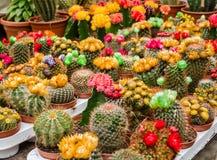 Vari cactus di fioritura variopinti in vasi sul mercato Fotografie Stock