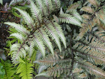 Vari colored ferns Stock Photography