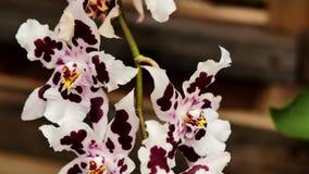 Vari colori delle orchidee La macchina fotografica si spost indietroare sul cursore Correzione di colore video d archivio