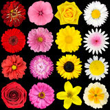 Vari fiori bianchi, gialli, dentellare e rossi Fotografia Stock Libera da Diritti