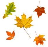 Vari fogli di autunno isolati su bianco Fotografie Stock