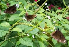 Vari hanno macchiato il nettare nero della bevanda della farfalla del corvo dai fiori Fotografia Stock Libera da Diritti