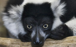 Vari lemur Royalty Free Stock Photography