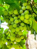 Vari?t?s s?lectionn?es de raisins blancs sains, m?rs et juteux pr?ts ? ?tre moissonn? images stock
