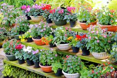 Vari tipi di fiori variopinti in vasi disposti sullo scaffale di legno Immagine Stock Libera da Diritti
