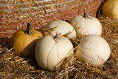 Vari tipi di zucche di autunno mature sull'azienda agricola Fotografia Stock