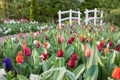 Vari tulipani colorati con il ponte di legno bianco Fotografia Stock