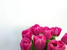 Vari tulipani rosa su fondo bianco Fotografia Stock Libera da Diritti