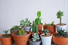 Varia piccola raccolta succulente delle piante da vaso con il fondo bianco dello spazio libero della parete Immagini Stock Libere da Diritti