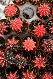 Varia a planta do cacto nas montanhas de Cameron da exploração agrícola Imagens de Stock