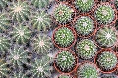 Varia a planta do cacto nas montanhas de Cameron da exploração agrícola Fotografia de Stock