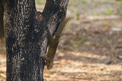 Variable-écureuil de Brown Image libre de droits