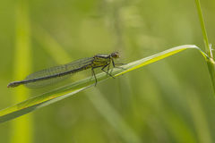 Variable Bluet Stock Image