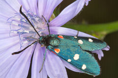 Variable burnet moth on a chicory flower close-up Royalty Free Stock Image
