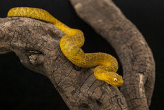 Variable Bush Viper Stock Images