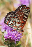 Variable Checkerspot butterfly drinks flower nectar Stock Photography