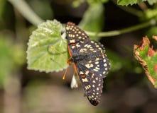 Variable Checkerspot - Euphydryas chalcedona Royalty Free Stock Photography