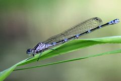 Variable damselfly, bluet. Young female variable damselfly (Coenagrion pulchellum Royalty Free Stock Image