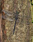 Variable Darner Dragonfly Royalty Free Stock Images