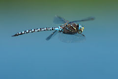 Variable Darner Dragonfly Royalty Free Stock Image