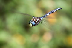 Variable Darner Dragonfly Hovering Royalty Free Stock Photography