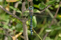 Variable Darner Dragonfly Royalty Free Stock Photography