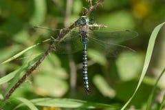 Variable Darner Dragonfly Stock Image