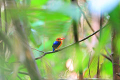 Variable Kingfisher Royalty Free Stock Image