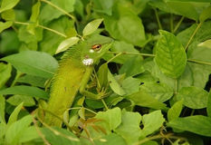 Variable Lizard In The Green Background. Variable lizard in the background of green leaves in Sri Lanka Stock Image