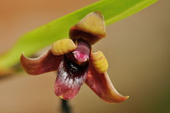 Variable Maxillaria Orchid. Maxillaria variabilis Stock Photography