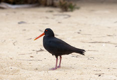 Variable Oyster Catcher Royalty Free Stock Images