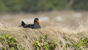 Variable Oyster Catcher Stock Images