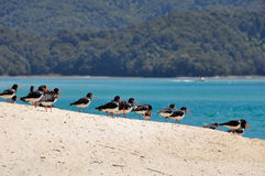 Variable Oyster Catcher, New Zealand Royalty Free Stock Image
