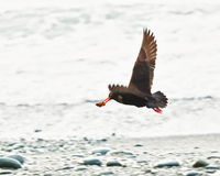 Variable Oystercatcher Royalty Free Stock Photography
