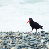 Variable Oystercatcher. The Variable Oystercatcher (Haematopus unicolor royalty free stock images