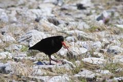 Variable Oystercatcher. 