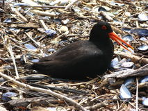 Variable Oystercatcher Stock Photo